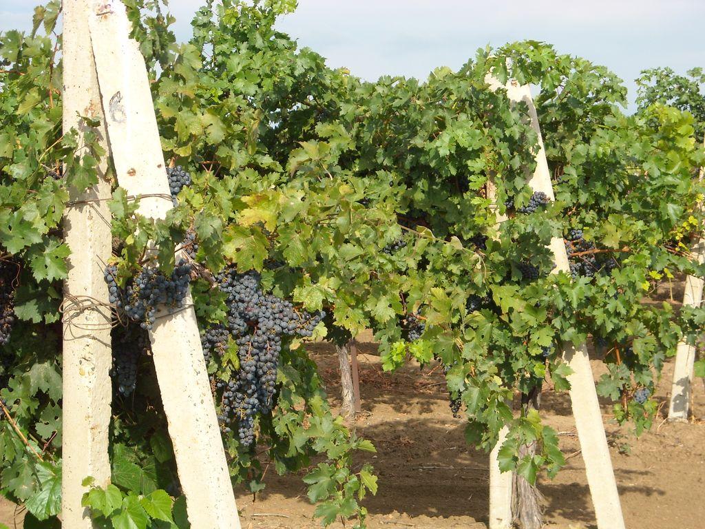 Таманский полуостров, виноградники.